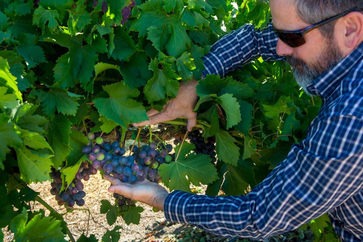 CalCA_grapes.jpg